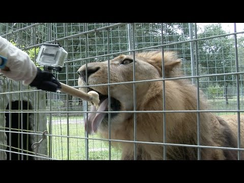 August Big Cat Birthdays: Lion Gets A Special Treat