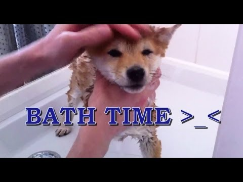 Shiba Inu Puppy – Bath Time