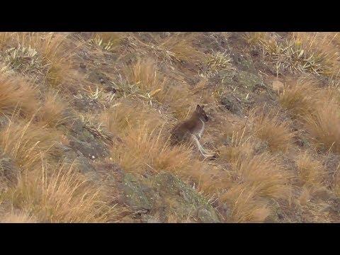 Wallaby Shooting July 2019