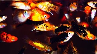 how to raise livebearer fry in community tanks guppy endler platy swordtail or molly hd