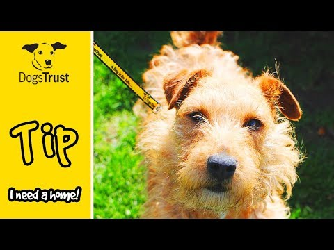 Tip is a Top Lakeland Terrier who Loves Playing with His Toys! | Dogs Trust Darlington