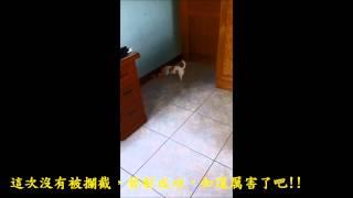 吉娃娃(小不點)PK戰影片
