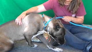 A4884120 Harmony | Husky/australian Shepherd Mix Puppy