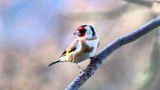 Great Goldfinch Song SZCZYGIEŁ SOUND EFFECTS