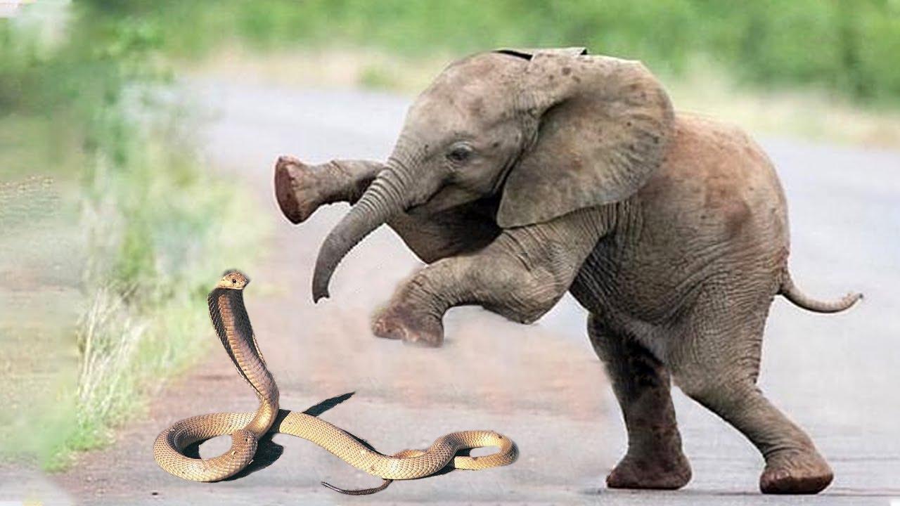Snake Vs Elephant In The Wild