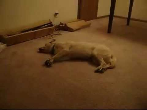 Bizkit the Sleep Walking Dog