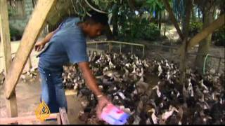 Feathered labour for Philippines rice farmers