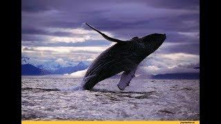 САМЫЕ НЕВЕРОЯТНЫЕ КАДРЫ С КИТАМИ!!! Нападение китов на людей.