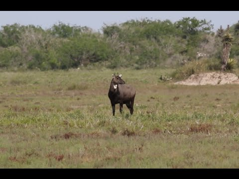 Nilgai hunt with Double Shot Outfitters thumbnail