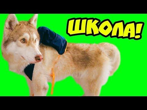 ХАСКИ ИДЕТ В ШКОЛУ!! (Хаски Бублик) Говорящая собака Mister Booble