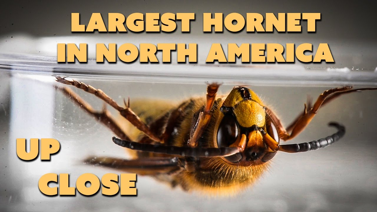 European Hornet Up Close Largest North American True Hornet