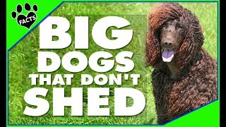 BIG Dogs That Don't Shed
