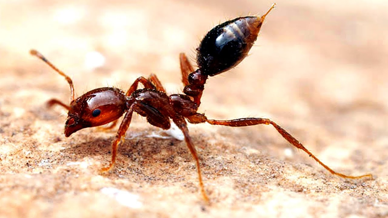 Why Fire Ants are Amazing  YouTube