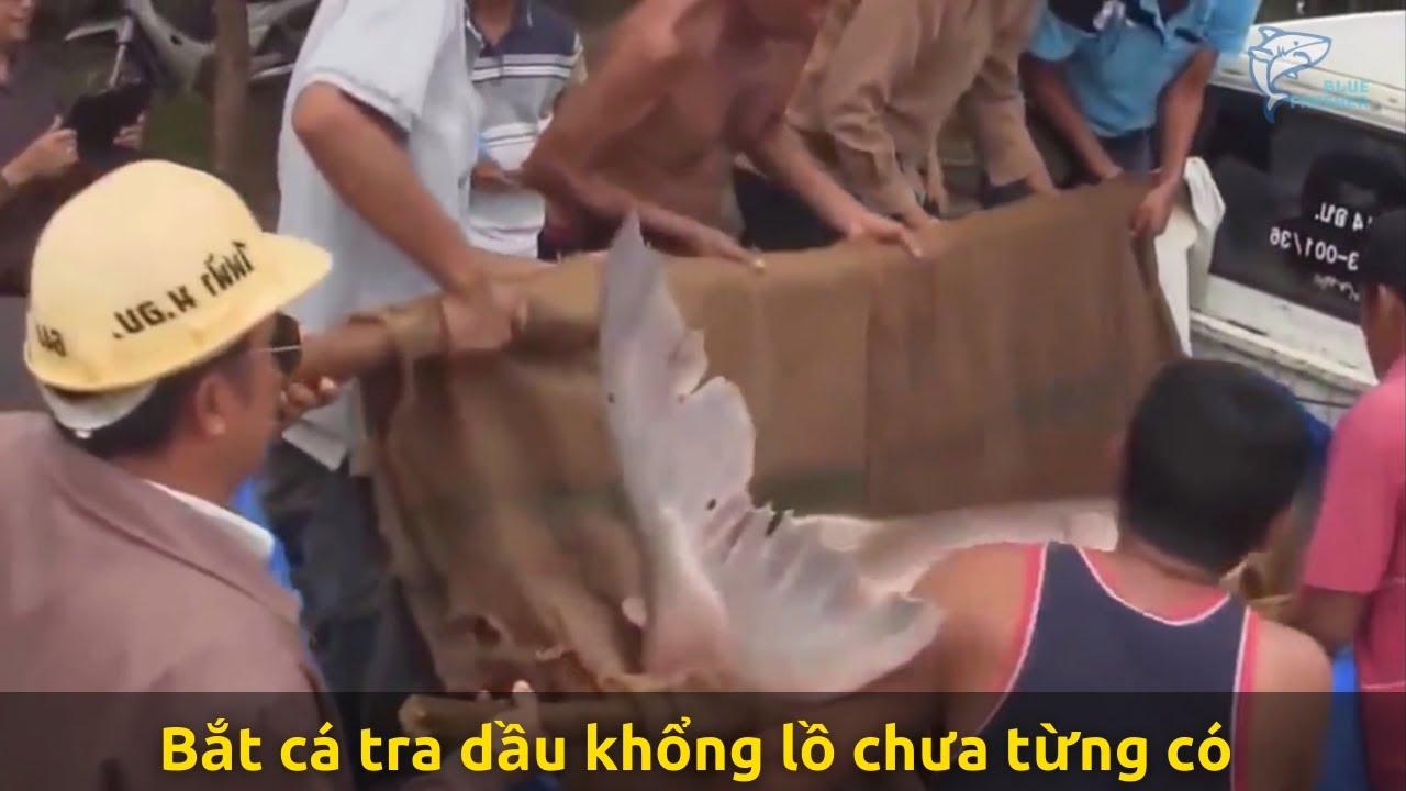 Người dân bắt cá tra dầu khổng lồ chưa từng có trên sông Mê Kông