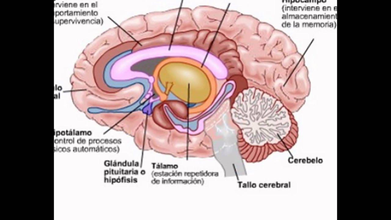 Bonito Youtube Anatomía Del Cerebro Patrón - Imágenes de Anatomía ...