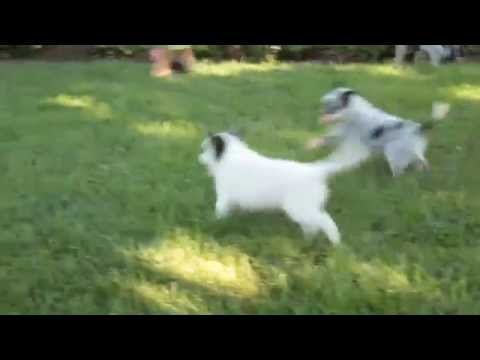 Blue Heeler Australian Cattle Dog For Sale