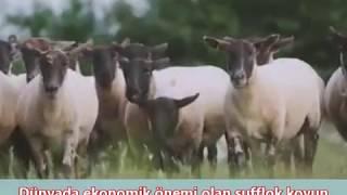 Etçi Sufflok Koyun Irkı Özellikleri Yetiştiricliği