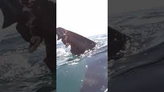 Great White with a bitten caudal fin #shorts
