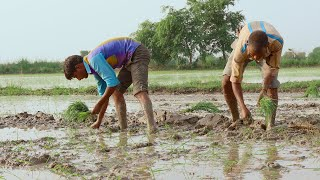 Two farmers planting rice / paddy sapling in the mud during rainy season