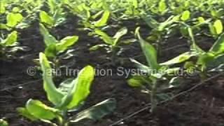 jain irrigation Banana Crop.wmv