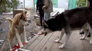 Шокирующие кадры из питомника, где умирают собаки