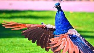 Удивительный мир птиц. Павлины