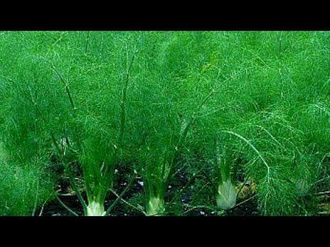 Укроп: правила выращивания и ухода, укроп на грядке, укроп на даче