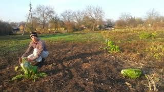 Пекинская капуста - простейшее выращивание