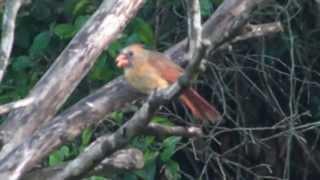 Cardinal At The Bird Feeder