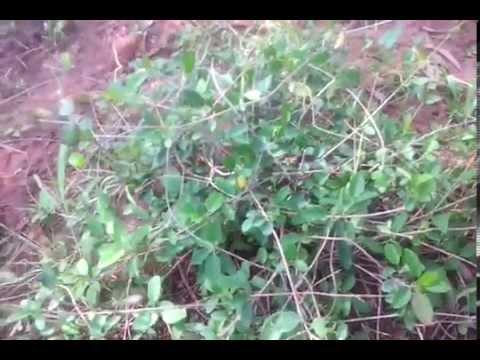 Gymnema sylvestre seeds