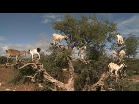 Tree-climbing goats in Moroccos argan forest