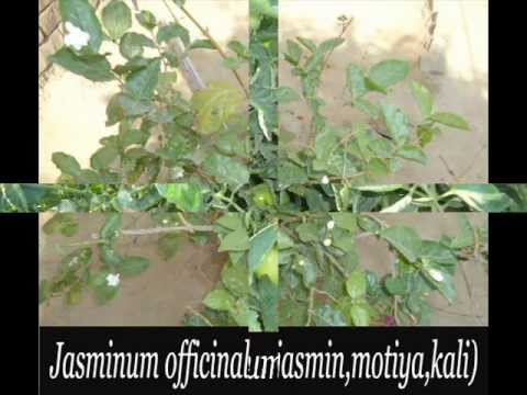 few plants of kamoke flora part 3