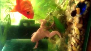Декоративная аквариумная лягушка.