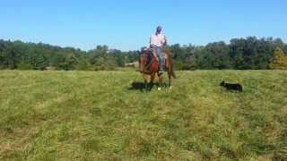 Super Well Trained,Well Seasoned  7 yr old QH Geld