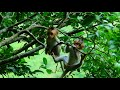 BABY MONKEY CUTE PLAY ON THE TREE  ALL TO GETHER AND HUNGREE EAT NOODLE WIHT FAMILY