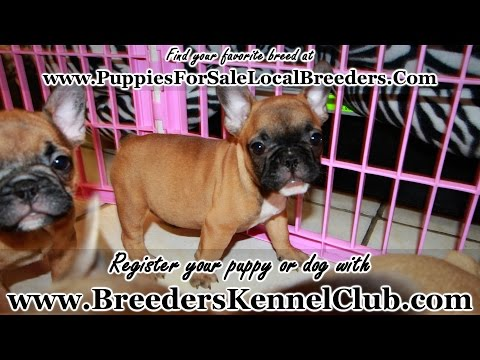 French Bulldog PUPPIES FOR SALE GEORGIA LOCAL BREEDERS