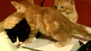 Kittens climb on Zeus