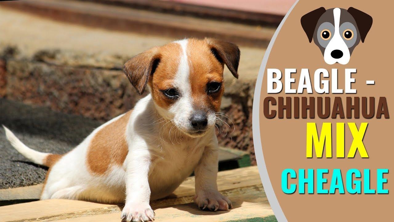 Beagle Chihuahua Mix Complete Info - YouTube