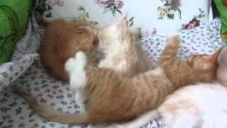 Kittens bite each other.Котята кусают друг друга.