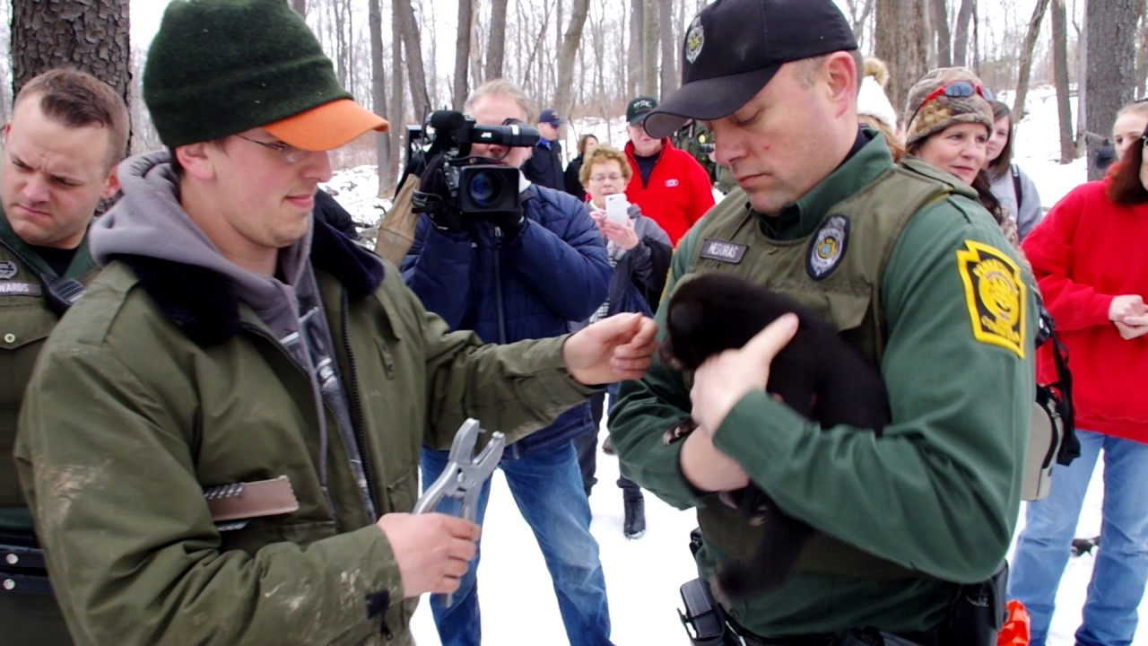 PA Game Commission weighs, tags black bear cubs
