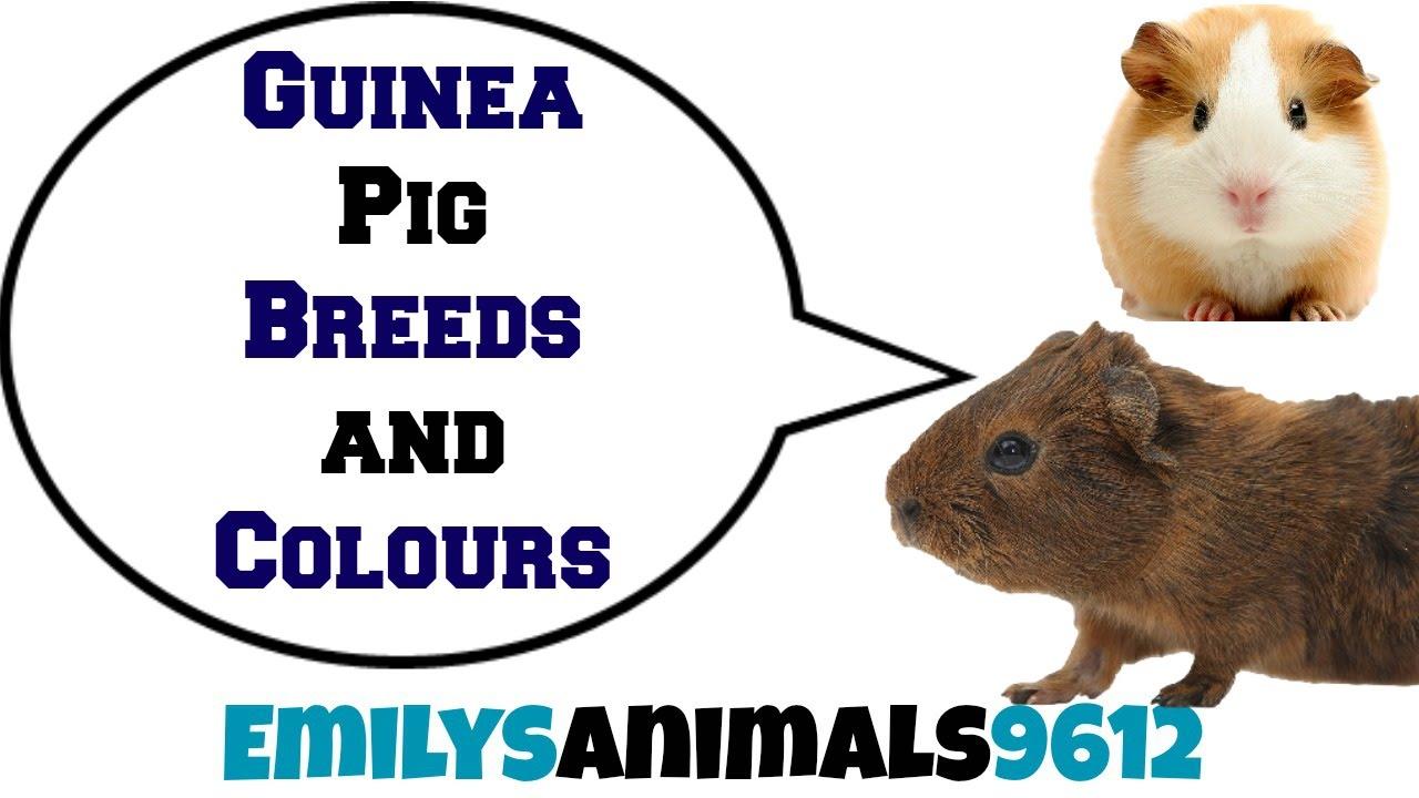 how to get certain guinea pig colours