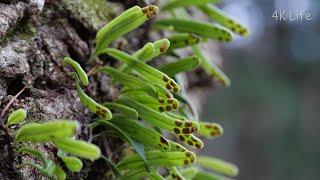 ヒメノキシノブ a kind of weeping fern (Lepisorus onoei)[4K UHD/シダ類 Fern]