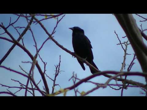 Canto do Pássaro Preto - Coqui