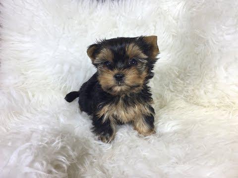 Adorables Cachorros de Yorkshire Terrier | Pareja de Yorkies Mini – Corralet Perros Toy