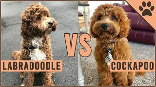 Labradoodle vs Cockapoo  Which Breed Is Better?