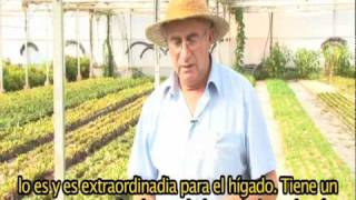 "Taraxacum Officinale ""Pixallits"" CASTELLANO"