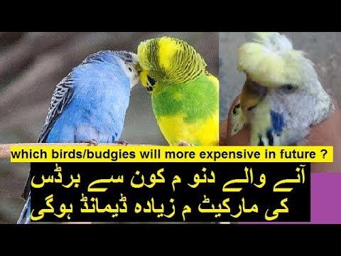 Budgies Breeding Hobby and Business | Australian parrots trade part 2