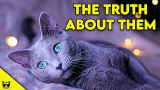 RUSSIAN BLUE CATS  The Truth About Them!