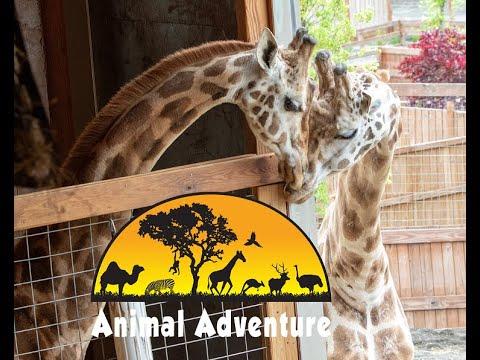 Johari & Oliver Giraffe Cam - Animal Adventure Park