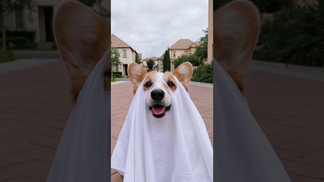 Ghost Photoshoot Challenge | Tofu the Corgi | #shorts #corgi #ghostphotoshoot